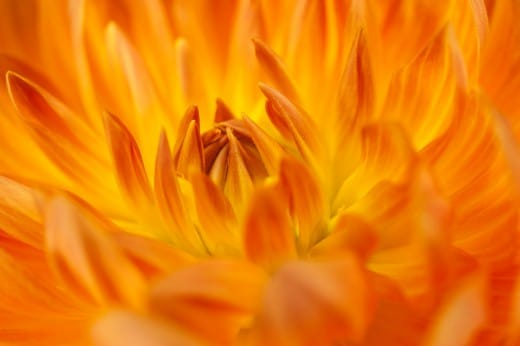 Orange Dahlie  im Fotostudio