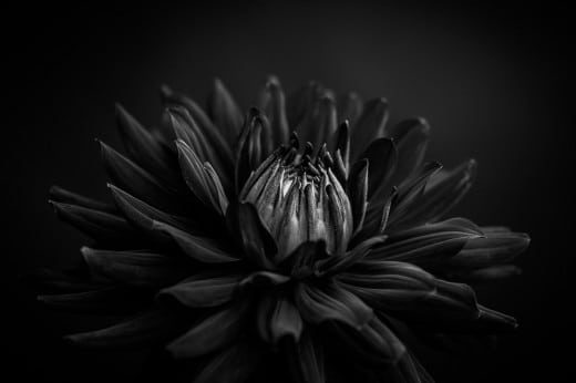 Schwarze Dahlie im Fotostudio