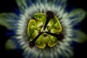 Passionsblume im Fotostudio