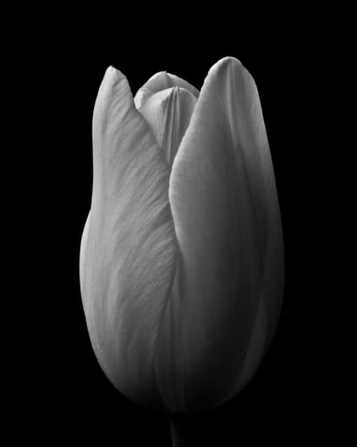 Weiße Tulpe  im Fotostudio