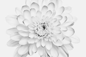 weiße Hyazinthe im Fotostudio