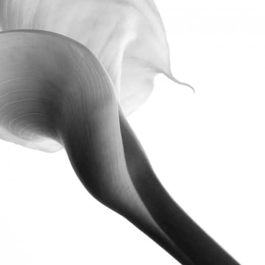 Calla in weiß im Fotostudio
