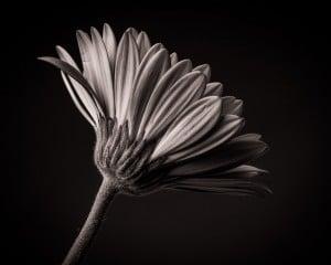 Gerbera schwarz-weiß im Fotostudio