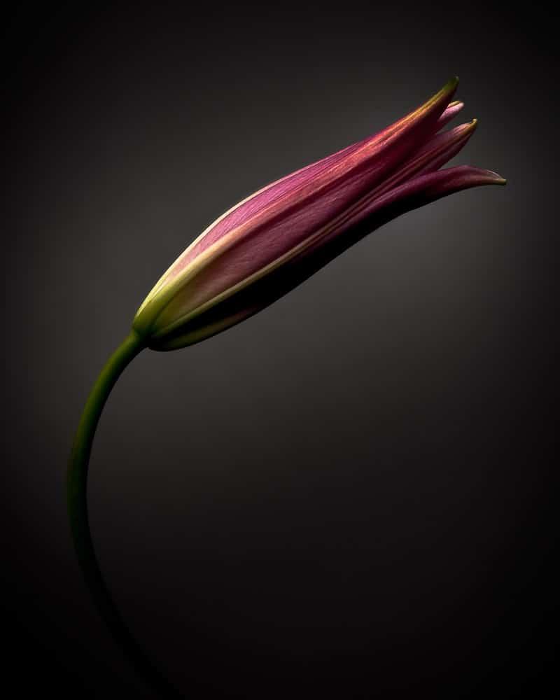 Lilie bunt im Fotostudio