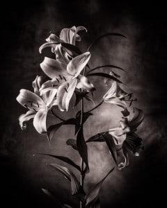 Lilienstrauch im Fotostudio