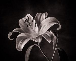 Lilie im Fotostudio