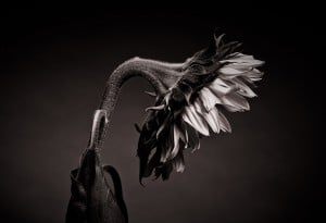 Traurige Sonnenblume im Fotostudio