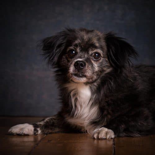 Hundeportrait im Fotostudio