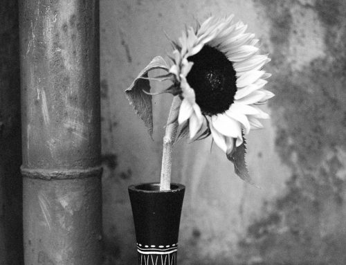 Sonnenblumen im LaPaDu